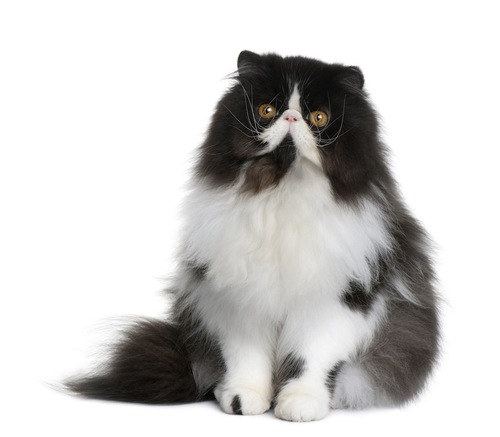 行儀よく座る斑のペルシャ猫