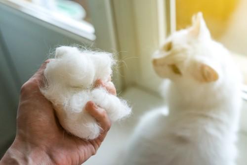振り返る白猫とたくさんの抜け毛を持つ飼い主の手