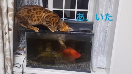 水槽の中に前足を入れる猫