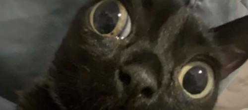 目がとても大きい黒い子猫