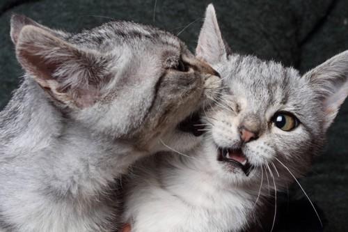 きょうだいに噛みつく白サバ子猫