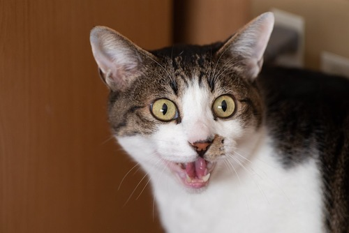 まん丸な瞳で何かに向かって鳴く猫