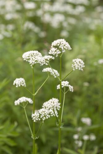 花の咲いたバレリアン
