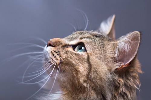 上を見つめている猫の横顔