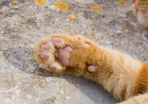 チャトラ猫のクリームパンのような手の肉球