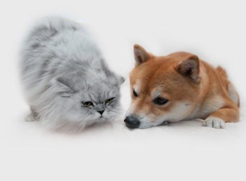伏せている柴犬の子犬に顔を近づける猫