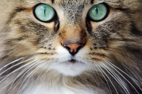 口を閉じて見つめる猫の顔アップ