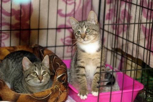ケージの中のキジ猫2匹