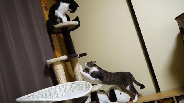 バリバリする猫