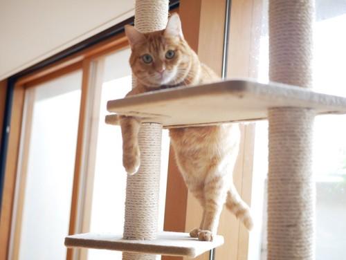 キャットタワーで寛ぐ猫