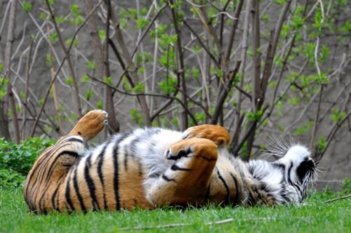 仰向けになるトラ