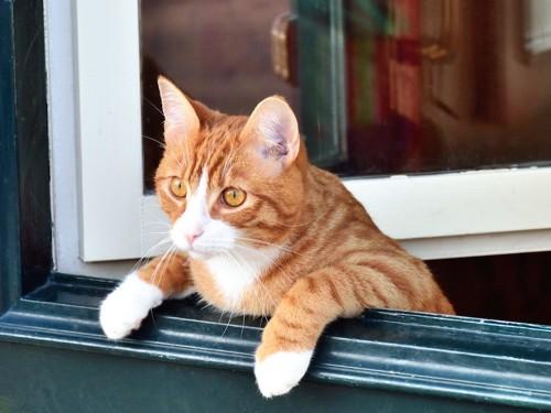 窓から乗り出して外を見る猫