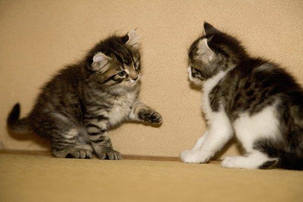 向かい合う二匹の子猫