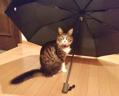 黒い傘に入っている猫