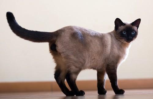 しっぽが水平の猫