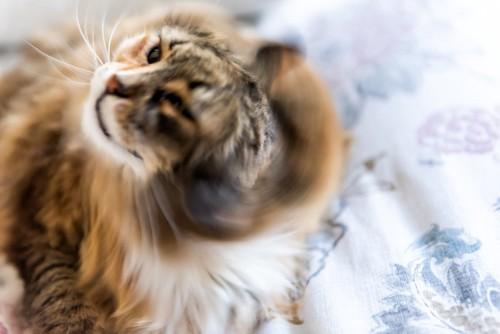 頭を振る猫
