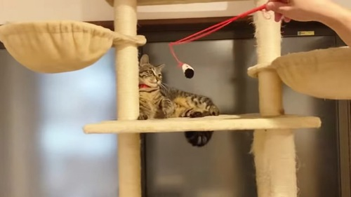 おもちゃで遊ぶ赤い首輪の猫