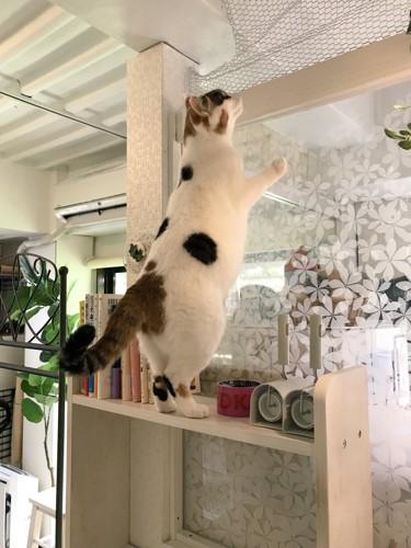猫猫座画像