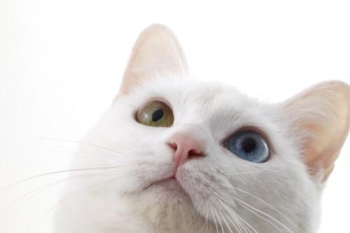 オッドアイの白猫
