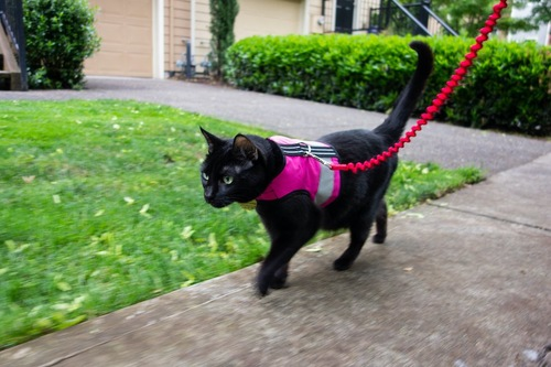 ハーネスをして散歩する黒猫