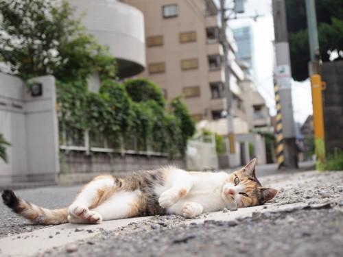 道端で寝転がる猫