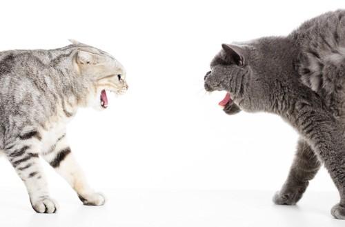 口を開けて睨み合う2匹の猫