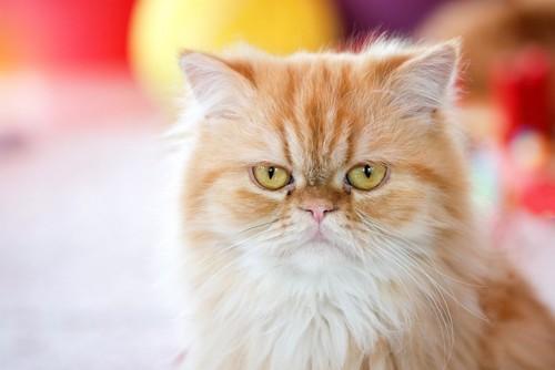 短頭種の猫