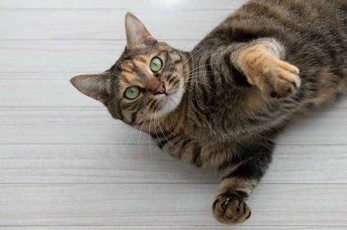 床に寝転がってこちらを見つめる猫