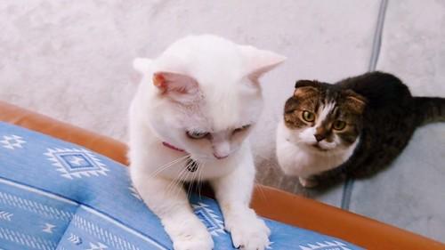 ソファーに前足をかける白い猫