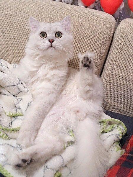 足でお返事する白猫