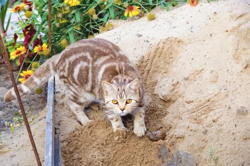 砂で隠す猫