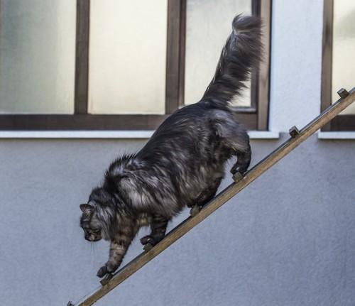 はしごを降りている長毛猫