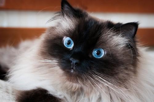 猫の顔正面