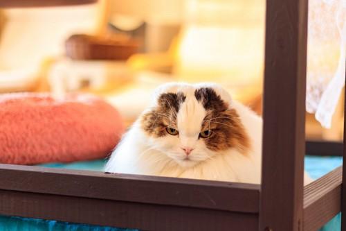 怒っているような顔をした猫