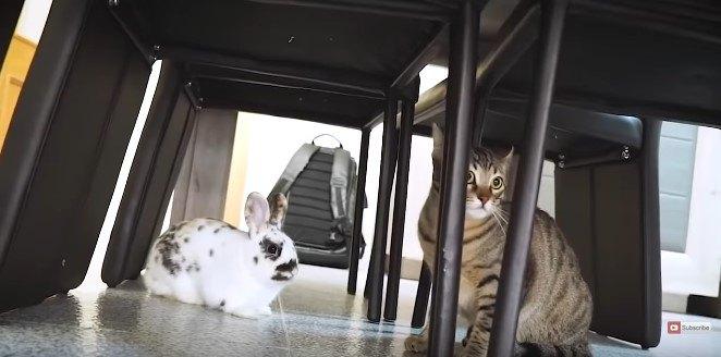 先住猫と先住ウサギ