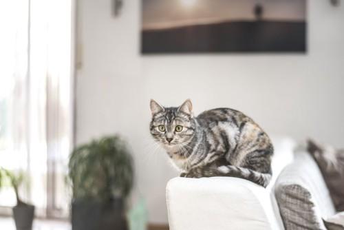 ソファの背もたれの上に座る猫