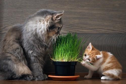 猫草を食べる子猫と成猫