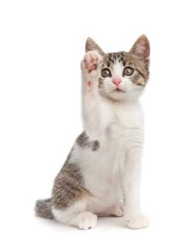 片手を上げて座る子猫