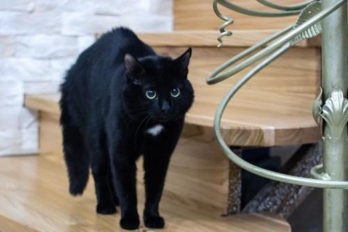 警戒している黒猫