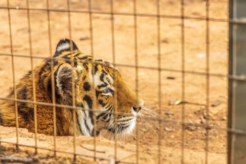 動物園のトラ