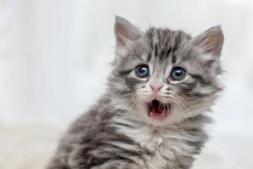 口を開けた子猫