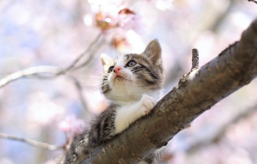 桜の木に登っている子猫