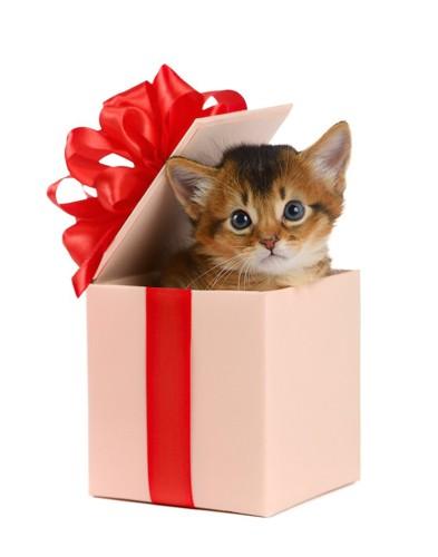 プレゼントの箱から顔を出したソマリの子猫