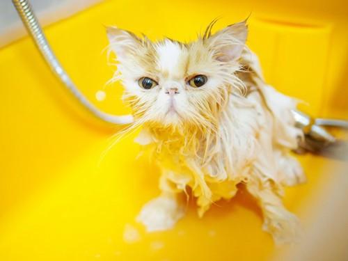 シャンプー中の長毛猫