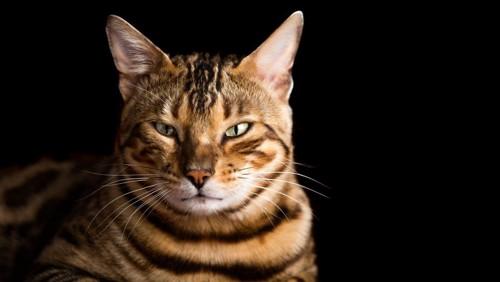 茶色の縞猫