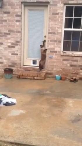 ドアノブをひねる猫