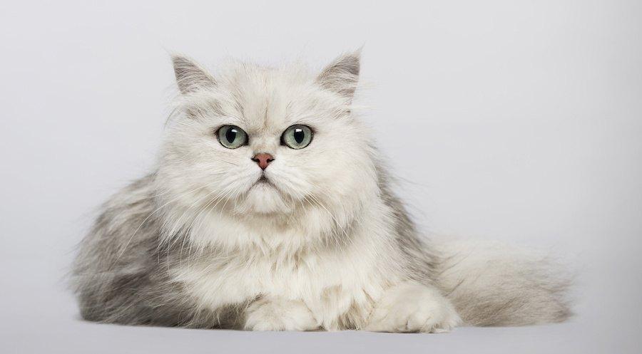 ゴージャスな毛並みのペルシャ猫