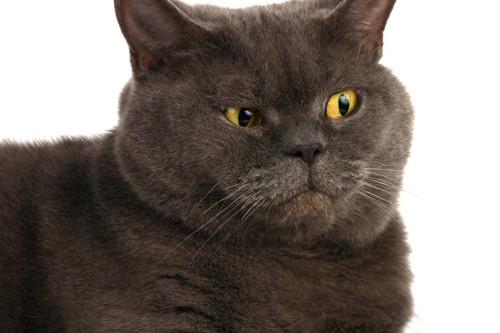 むっつりした顔の猫