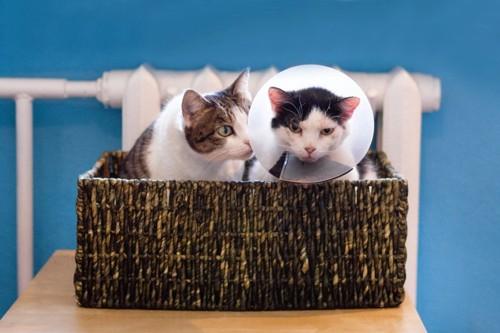 エリザベスカラーを付けた猫とそれを気にする猫