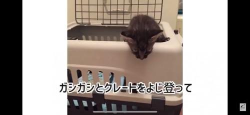 クレートから出る子猫